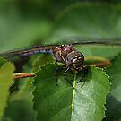 Dragonfly II by Vickie Emms