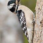 Female Hairy Woodpecker by Kathy Baccari