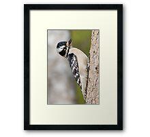Female Hairy Woodpecker Framed Print