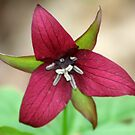 REDREAMING RED TRILLIUM by REDREAMER