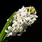 Hyacint by Aase