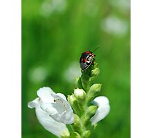 Twice-Stabbed Stink Bug Photographic Print