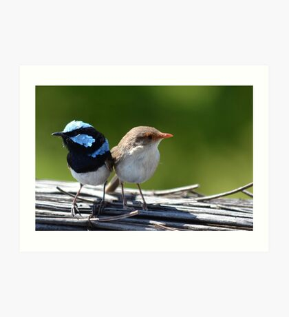 ♥Fairy-Wrens♥ Art Print