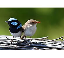 ♥Fairy-Wrens♥ Photographic Print