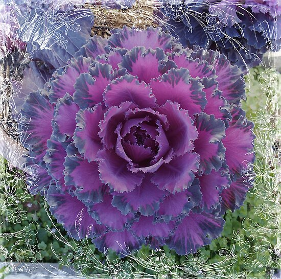 Purple Ornamental Cabbage by Sandra Foster