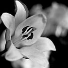 BW Lily II (Mendel) by jphphotography