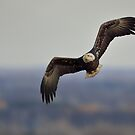 Bald Eagle Looking to Land by Mully410