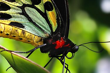 Cairns Birdwing by Damienne Bingham