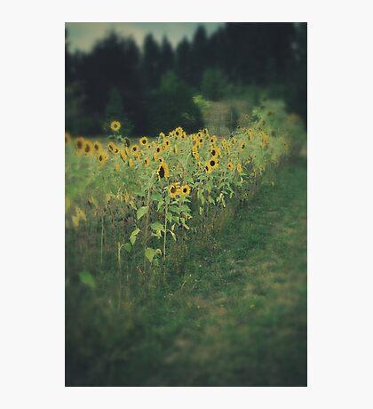 Sunflower Garden Photographic Print