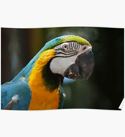 Blue coloured macaw Poster