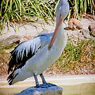 Australian Pelican by Bailey Designs