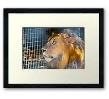 Male African Lion Framed Print