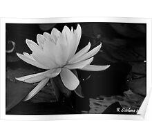 b/w lily Poster