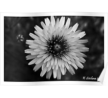 b/w daisy Poster