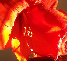 Amaryllis no17 by ArtOfE