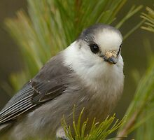 Sweet Gray Jay by Heather Pickard