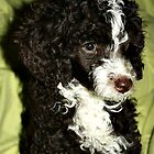 Miniature Poodle - Jack by Eileen O'Rourke