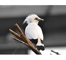 Bali Starling  Photographic Print