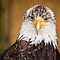 Bald Eagle by Yannik Hay