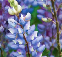 Dancing Lupines - Spring In Central California Sticker