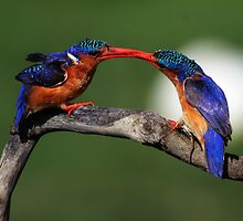 Malachite beak tussles  by ajay2011