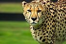 Cheetah - Face to Face - 38,585 Views by Stephen Beattie