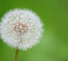 Dandelion seed head by HollyRuthven