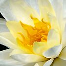 white water lily by tego53