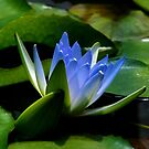 Blue Lotus Dreaming by Clare McClelland
