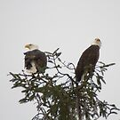 Adult Bald Eagles - Boundary Bay, British Columbia by Stephen Stephen
