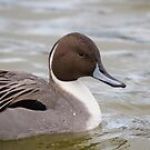 Northern Pintail Drake Portrait - Reifel Migratory Bird Sanctuary British Columbia by Stephen Stephen