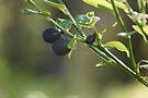 Wild Scottish Blueberries by Allen Lucas