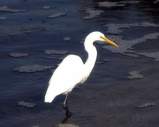 Great Egret by Sharon Woerner