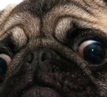 Peeking Pug Sticker