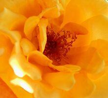 Summer Gold,Rose,Tumut,Australia. by kaysharp