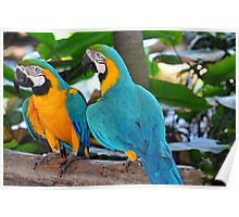 Blue & Yellow Macaws, Singapore. (2) Poster