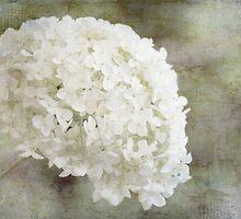 Hydrangea by Margi