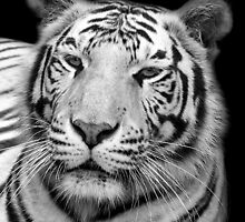White Tiger – Black & White by Mark Hughes