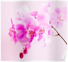Orchid in Shades of Pastel  Poster
