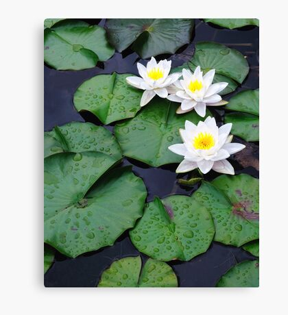 Three white water lilies Canvas Print