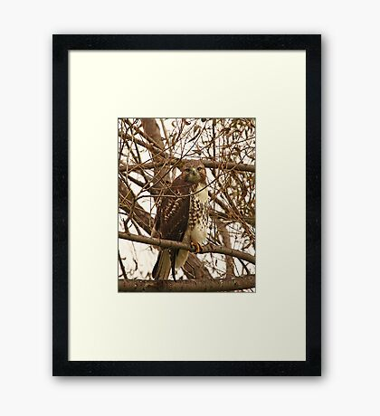 Red-Tailed Hawk Looking Right at Me Framed Print