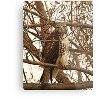 Red-Tailed Hawk Looking Right at Me Metal Print