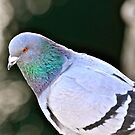 On Pigeon Watch by scenebyawoman