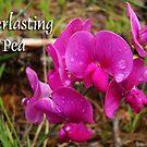 Everlasting Pea by Karen Karl