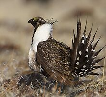Fluffy Grouse