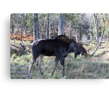 Male moose in the woods Canvas Print