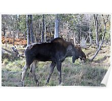 Male moose in the woods Poster