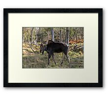 Moose in the fall woods Framed Print