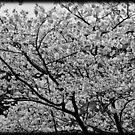 black and white flowered tree by apsjphotography
