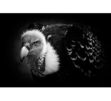 Rueppell's Vulture: After a shower (black version) Photographic Print